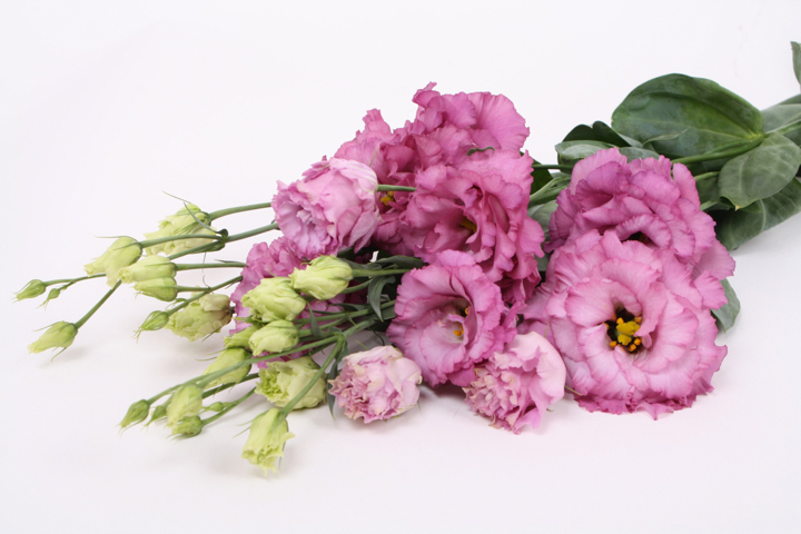celeb grape liggend montana lisianthus