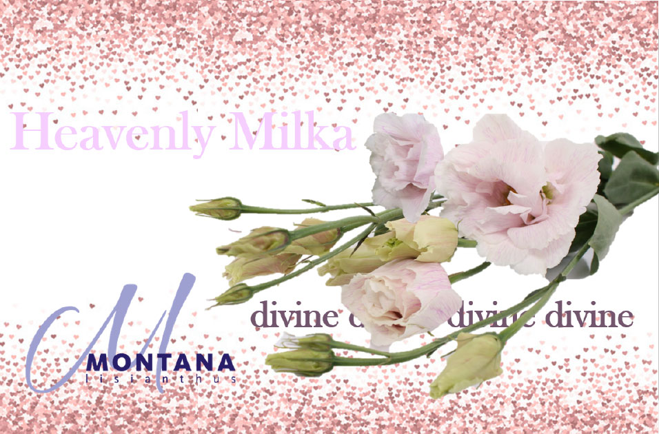 heavenly lisianthus 5 milka